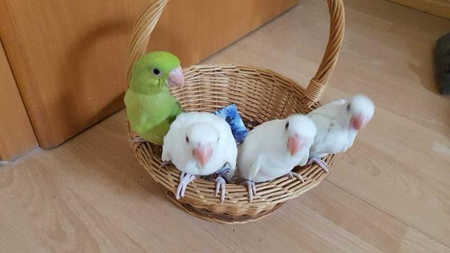 Попугай Ожереловые,птенцы желтого и белого цвета 2021 года