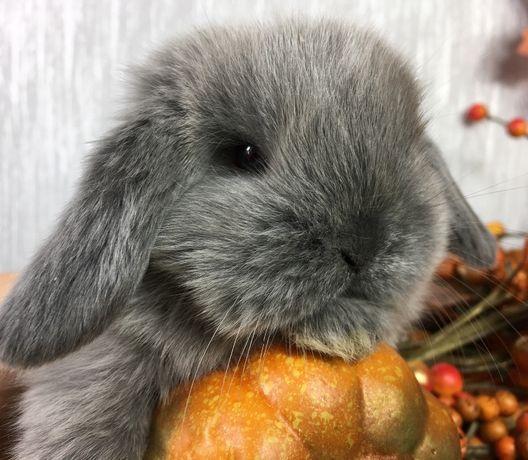 Mini lop karzełek teddy królik miniaturka króliki miniaturowe baranki