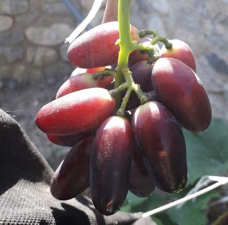 Опт. Саженцы винограда оптом