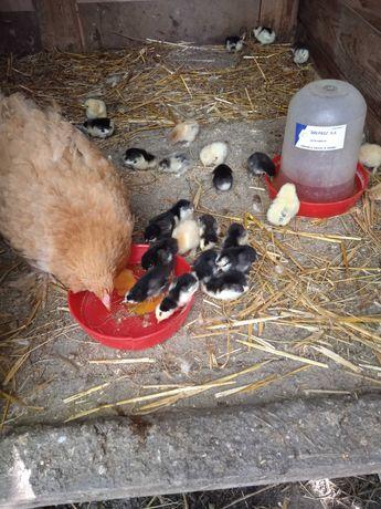 kura z kurczakami kochin olbrzymi i tęczanka