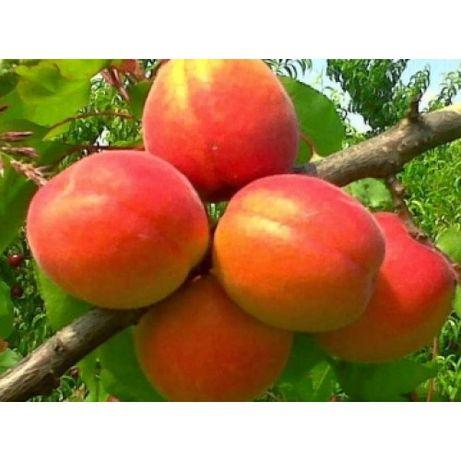 Саженцы абрикоса 11 сортов. Абрикос. оlx доставки нет