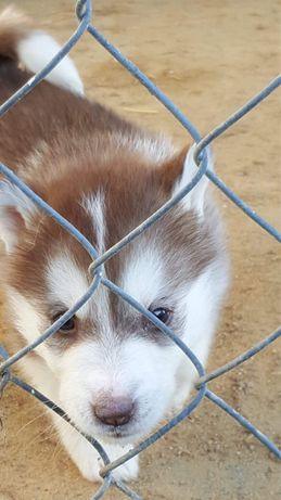 Pies/szczeniak husky REZERWACJA DO NIEDZIELI