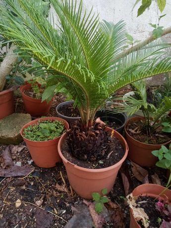 Palmeira da Madeira (sica)