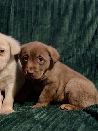 Labrador szczenięta z rodowodem