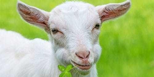 Продам молоду козу недорого