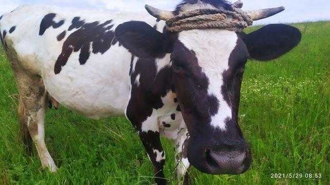 Продам молоду корову,дзвоніть