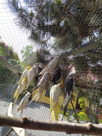 Papuga nimfa młode do oswojenia lub  ręcznego karmienia