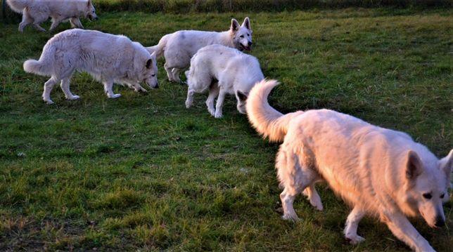 Biały owczarek szwajcarski rezerwacja ZKwP FCI