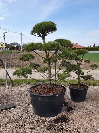 Sosna pospolita norske typ bonsai