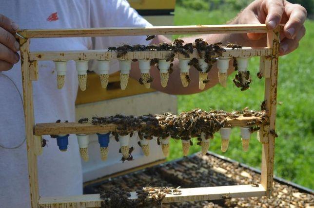 Matki pszczele 2021 Buckfast, Elgon,