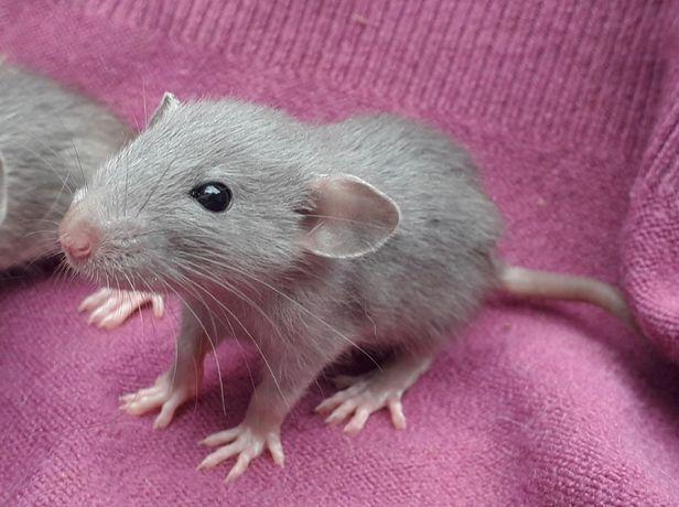 Szczurki, szczury, szczur Dumbo - piękne, oswojone maluszki