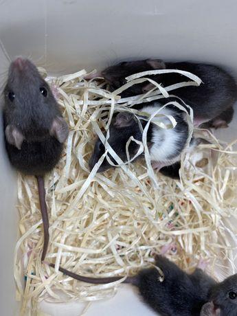 Декоративные крысы , крысята
