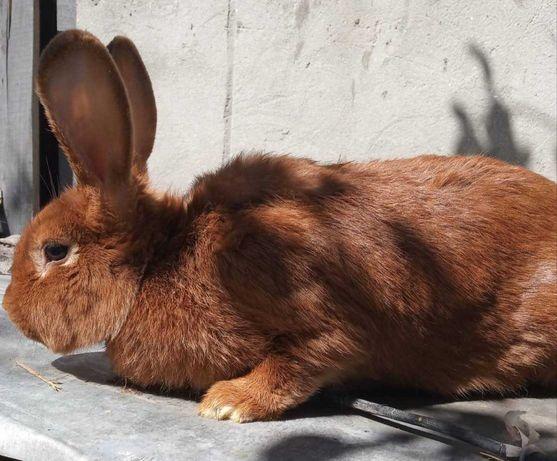 Кролі новозеландської червоної породи