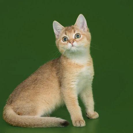 Котята британская золотая шиншилла