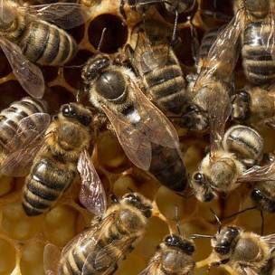Продам бджолині рої