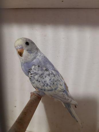 Papuga papugi faliste szpalty na koroniaste tcb