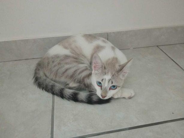 Dou gata branca com 6 meses