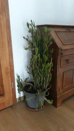 Kaktusy wieloletnie
