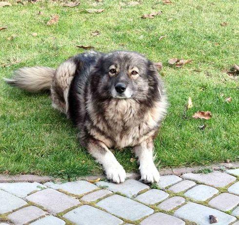 Собака, 5 років, гарний сторож, Шукає нову домівку