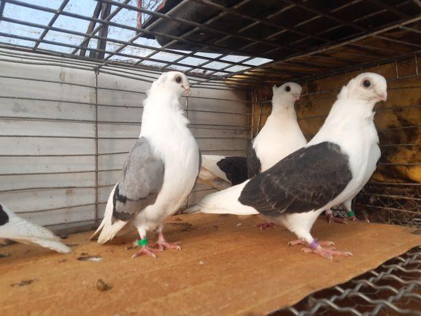 Mewki polskie mewka ptaki gołębie ozdobne