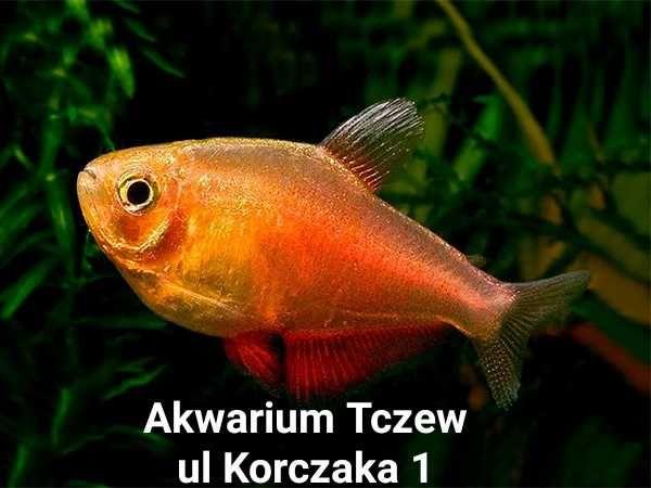 Hyphessobrycon flameus Orange ul Korczaka 1 Tczew