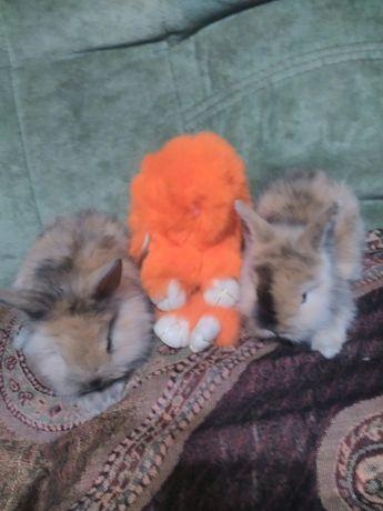 Крольки карликовые