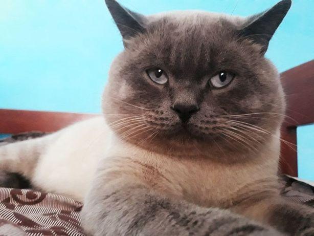 Вязка...кот шотландский прямоухий