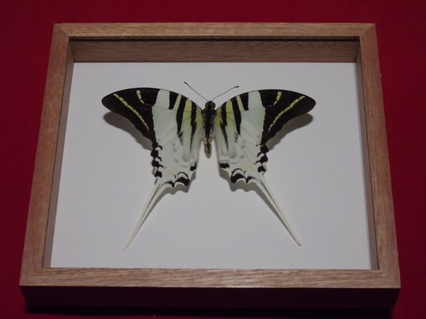 Motyl w ramce 18 x16cm Graphium androcles 115 mm .