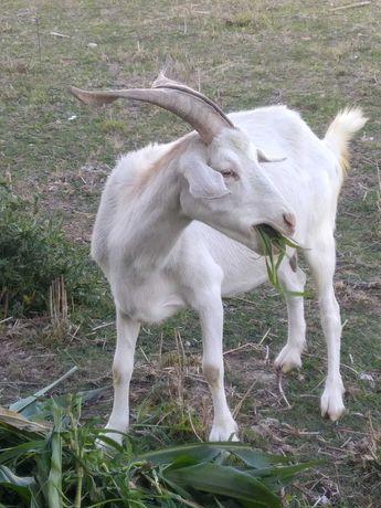Cabra branca grande