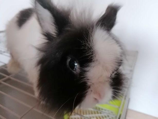 Sprzedam królika miniaturkę razem z klatką