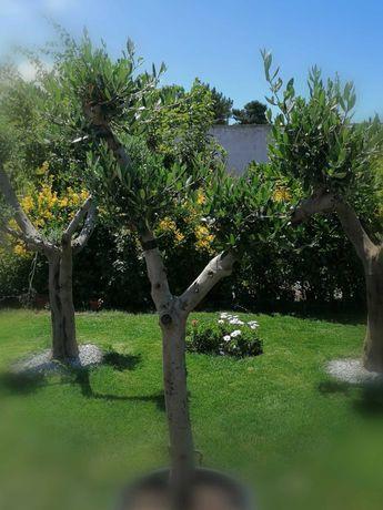 Oliveiras bonsai para jardim - são liiiiiiiindas!