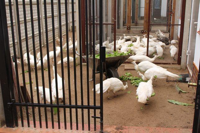 Pawie białe i czarnoskrzydłe