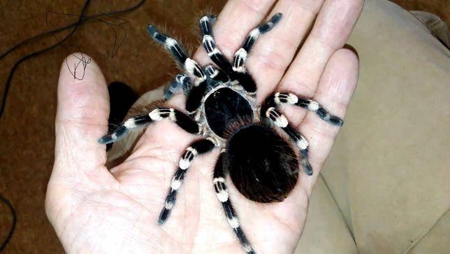 паук птицеед acanthoschurria geniculata павук экзотика Киев