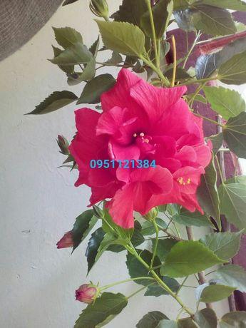 Малиновый махровый гибискус, Double pink, комнатная китайская роза