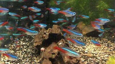 Ryby do akwarium od 1zł - Neon Innesa - hodowla, nowe promocje