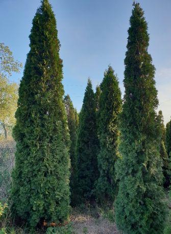 Thuja Smaragd od 2,5 m