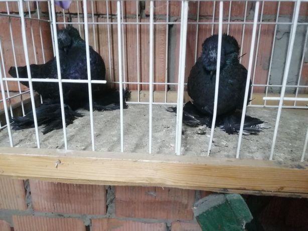 Turkot dwuczuby ptaki