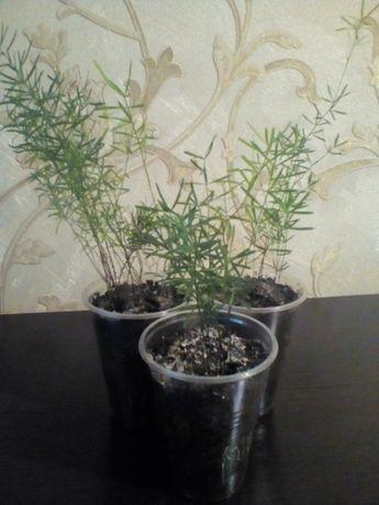 Аспарагус комнатные растения
