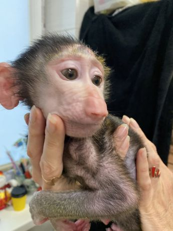 Ручная обезьянка бабуин - ручная обезьяна малышь 2,5 мес
