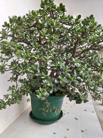 Vasos suculentas - Planta-jade (crassula ovata)