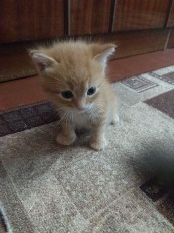 Дарю котят, рыженьких