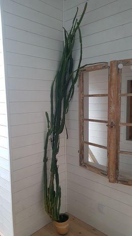 Mega wysoki kaktus ok 240 cm - okazja!