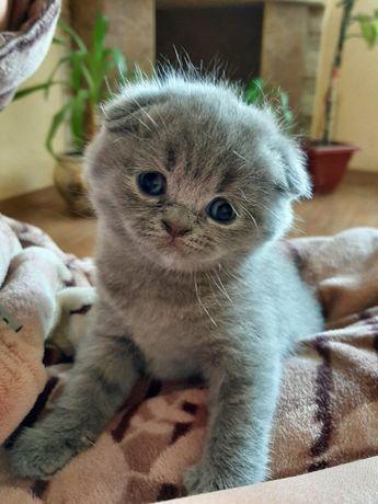 Продам британських кошенят