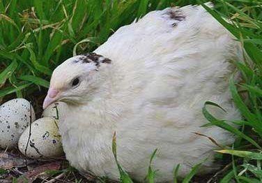 Перепела тушка, перепелиные яйца