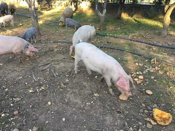 Vendem-se porcos arraçados bizaro