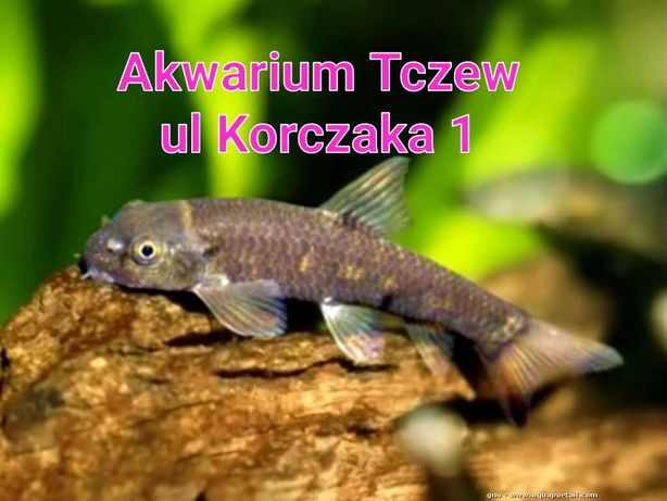 Garra rufa ryba na glony ul Korczaka 1  Tczew