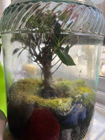 Terrário fechado com Bonsai Ficus e musgo da Islândia