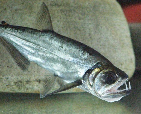 Hydrolycus Armatus - Payara