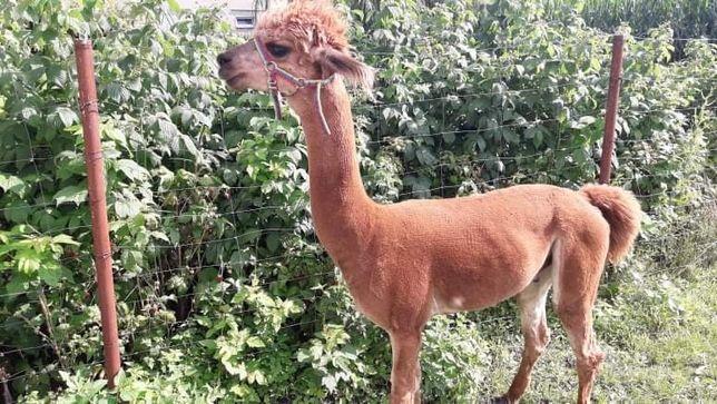 Alpaka-samiec na sprzedaż
