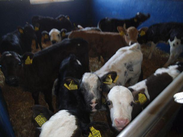 Sprzedam byczki i jałówki mięsne, krzyżówki